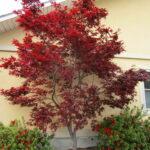 تصویر درختچه افرا قرمز ایستاده ژاپنی کنار دیوار