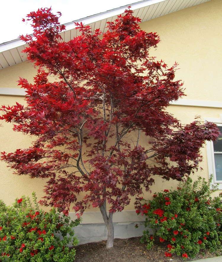 درختچه افرا قرمز ایستاده (ژاپنی)