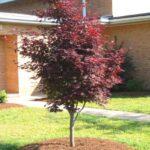 تصویر یک درختچه افرا قرمز ایستاده (ژاپنی) در حیاط خانه