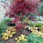 تصویر محصول درختچه افرا قرمز ایستاده (ژاپنی) در حیاط خانه