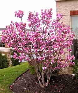 درختچه ماگنولیا زمستانه در حیاط خانه