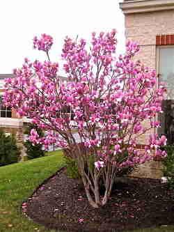 درختچه ماگنولیا زمستانه