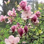 درختچه ماگنولیا زمستانه با گلبرگ صورتی در باغ