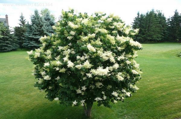 درختچه یاس هلندی