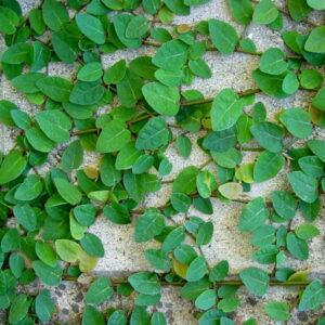 تصویر گیاه فیکوس پمیلا در گرین وال
