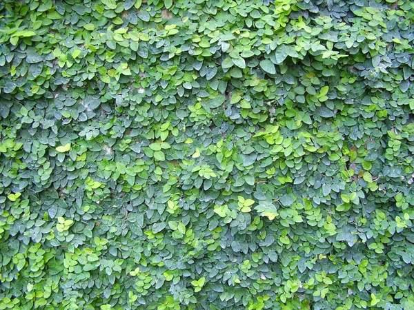 گیاه پیچک و چسبنده فیکوس پمیلا
