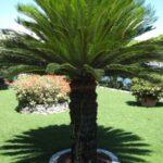 تصویر نخل سیکاس رولوتا در باغ