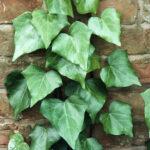 تصویر گیاه پاپیتال روی دیوار
