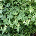 تصویر گیاه پاپیتال