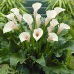 تصویر محصول گل شیپوری سفید