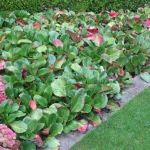تصویر چند گیاه برجینا در باغچه