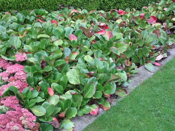 گیاه برجینا