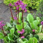 تصویر گیاه برجینا با گلبرگ بنفش