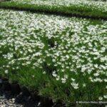 گیاه پوششی چاینیز سفید در فضای پارک
