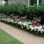 تصویر گیاه پوششی چاینیز سفید در باغچه حیاط