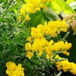 تصویر یاس پر طاووسی زرد