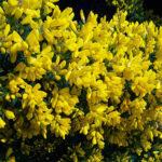 تصویر یاس پر طاووسی زرد رنگ