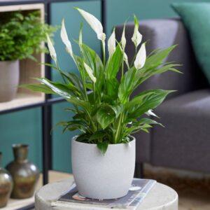 تصویر محصول گیاه اسپاتی فیلیوم در گلدان سفید