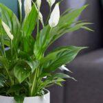 تصویر محصول گیاه اسپاتی فیلیوم