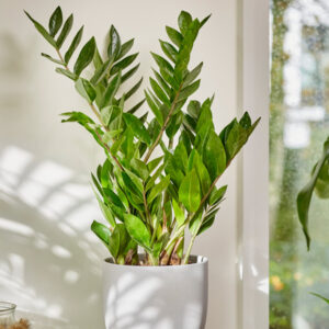 تصویر محصول زاموفیلیا در گلدان سفید