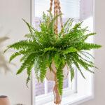 تصویر محصول گیاه سرخس در گلدان آویز