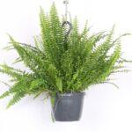 تصویر محصول گیاه سرخس در گلدان مشکی