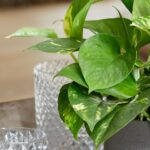 تصویر محصول گیاه پتوس طلایی