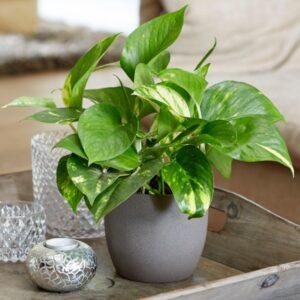 تصویر محصول گیاه پتوس طلایی در گلدان خاکستری