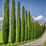 چند درخت سرو شیراز در کنار پیاده رو