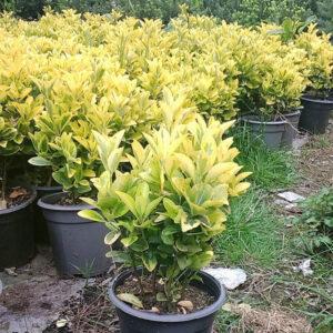 چند گیاه شمشاد طلایی با گلدان مشکی