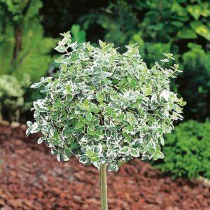 تصویر شمشاد نقره ای در باغ