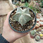 تصویر محصول گیاه آستروفیتوم