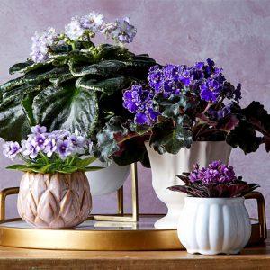 گیاهان گلدار آپارتمانی
