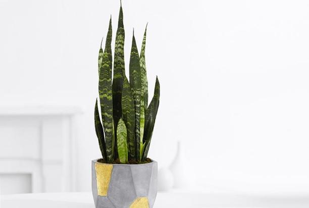 تصویر گیاه سانسوریا با گلدان سنگی