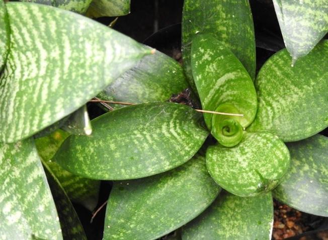 تصویر گیاه سانسوریا مارپیچ
